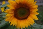 太陽花與波斯菊: