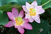 美麗的蓮花: