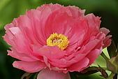 花中之王牡丹花-驚豔杉林溪:DSC01407+.JPG
