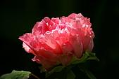 花中之王牡丹花-驚豔杉林溪:DSC01361+.JPG