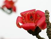 2005台灣詩路木棉花:PICT0084