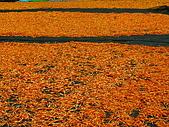 六十石山金針花:照片 302p.jpg