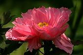 花中之王牡丹花-驚豔杉林溪:DSC01333+.JPG