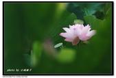 不變的愛--白河荷花:DSC_5331~.jpg