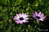 七甲花卉專區:DSC05332.JPG