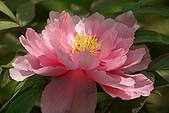 花中之王牡丹花-驚豔杉林溪:DSC01365+.JPG