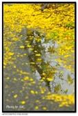 白河阿勃勒:DSC_4598.jpg