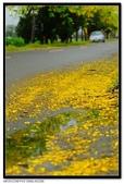 白河阿勃勒:DSC_4633.jpg