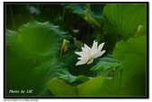 不變的愛--白河荷花:DSC_3202.jpg