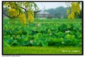 白河阿勃勒:DSC_3631.jpg