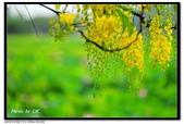 白河阿勃勒:DSC_4574.jpg