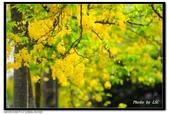 白河阿勃勒:DSC_5313.jpg