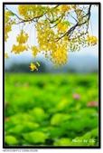 白河阿勃勒:DSC_5318.jpg