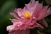 花中之王牡丹花-驚豔杉林溪:DSC01349+.JPG