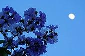 夏日風情阿勃勒:紫薇望月