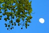 夏日風情阿勃勒:月光阿勃勒