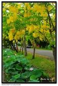 白河阿勃勒:DSC_5402.jpg