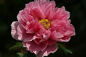 花中之王牡丹花-驚豔杉林溪:DSC01350+.JPG