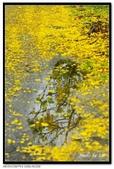 白河阿勃勒:DSC_4603.jpg