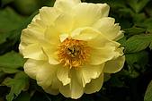 花中之王牡丹花-驚豔杉林溪:DSC01397+.JPG