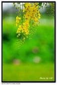 白河阿勃勒:DSC_4576.jpg