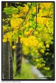 白河阿勃勒:DSC_5312.jpg