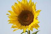 南台灣的小太陽:向陽