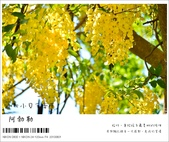 阿勃勒,台南賞花地點公開,初夏最金黃耀眼的綻放:nEO_IMG_20130602 395.jpg