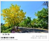阿勃勒,台南賞花地點公開,初夏最金黃耀眼的綻放:nEO_IMG_20130602 069.jpg