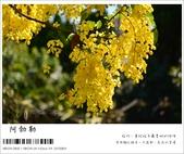 阿勃勒,台南賞花地點公開,初夏最金黃耀眼的綻放:nEO_IMG_20130602 106.jpg