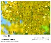 阿勃勒,台南賞花地點公開,初夏最金黃耀眼的綻放:nEO_IMG_20130602 189.jpg