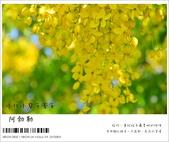 阿勃勒,台南賞花地點公開,初夏最金黃耀眼的綻放:nEO_IMG_20130602 190.jpg