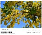 阿勃勒,台南賞花地點公開,初夏最金黃耀眼的綻放:nEO_IMG_20130602 108.jpg