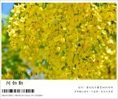 阿勃勒,台南賞花地點公開,初夏最金黃耀眼的綻放:nEO_IMG_20130602 191.jpg