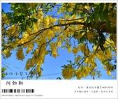 阿勃勒,台南賞花地點公開,初夏最金黃耀眼的綻放:nEO_IMG_20130602 109.jpg