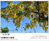 阿勃勒,台南賞花地點公開,初夏最金黃耀眼的綻放:nEO_IMG_20130602 110.jpg