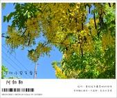 阿勃勒,台南賞花地點公開,初夏最金黃耀眼的綻放:nEO_IMG_20130602 192.jpg