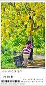 阿勃勒,台南賞花地點公開,初夏最金黃耀眼的綻放:nEO_IMG_20130602 078.jpg