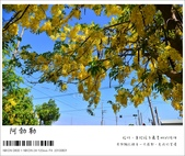 阿勃勒,台南賞花地點公開,初夏最金黃耀眼的綻放:nEO_IMG_20130602 111.jpg