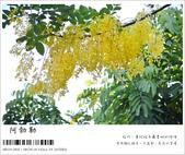 阿勃勒,台南賞花地點公開,初夏最金黃耀眼的綻放:nEO_IMG_20130602 1210.jpg