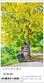 阿勃勒,台南賞花地點公開,初夏最金黃耀眼的綻放:nEO_IMG_20130602 086.jpg