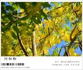 阿勃勒,台南賞花地點公開,初夏最金黃耀眼的綻放:nEO_IMG_20130602 130.jpg