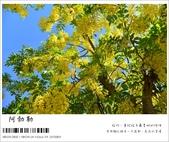 阿勃勒,台南賞花地點公開,初夏最金黃耀眼的綻放:nEO_IMG_20130602 197.jpg