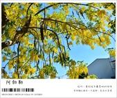 阿勃勒,台南賞花地點公開,初夏最金黃耀眼的綻放:nEO_IMG_20130602 289.jpg