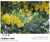 阿勃勒,台南賞花地點公開,初夏最金黃耀眼的綻放:nEO_IMG_20130602 1217.jpg
