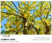 阿勃勒,台南賞花地點公開,初夏最金黃耀眼的綻放:nEO_IMG_20130602 132.jpg