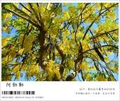 阿勃勒,台南賞花地點公開,初夏最金黃耀眼的綻放:nEO_IMG_20130602 290.jpg