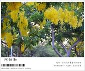 阿勃勒,台南賞花地點公開,初夏最金黃耀眼的綻放:nEO_IMG_20130602 1218.jpg