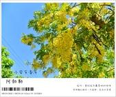 阿勃勒,台南賞花地點公開,初夏最金黃耀眼的綻放:nEO_IMG_20130602 198.jpg