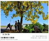 阿勃勒,台南賞花地點公開,初夏最金黃耀眼的綻放:nEO_IMG_20130602 133.jpg
